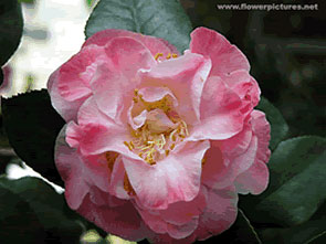 image-pinkflower